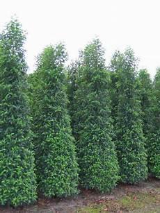 Kirschlorbeer Pflanzen Kaufen - prunus lusitanica angustifolia portugiesischer