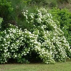 rosier liane sans epine rosa banksiae alba plena rosier liane sans 233 pines blanc