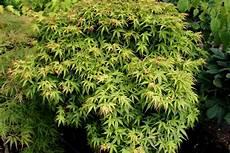 Japanischer Ahorn Acer Japonicum Garten Wissen