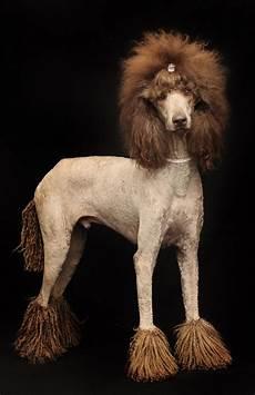 408 best xtreme grooming images pinterest poodles standard poodles and poodles