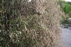 Bambus Braune Blätter - bambuspflege im winter winterschutz bambus pflege