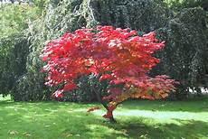 233 Rable Du Japon Arbres Et Arbustes Arbuste Et