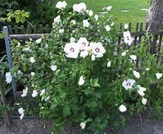 hibiskus strauch schneiden file hibiscus syriacus white jpg