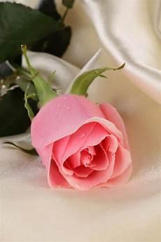Gambar Bunga Mawar Yang Cantik Cantik