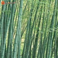 Fresh Moso Bamboo Seeds For Diy Home Garden