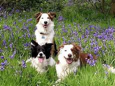 1000 images about border collies pinterest border collies dog agility and border collie pups