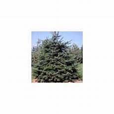 achat sapin nordmann a planter 93312 sapin de nordmann plantes et jardins