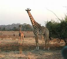 die giraffe giraffen