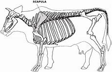 Skeleton Of A Cow Showing The Anatomical Position Of The