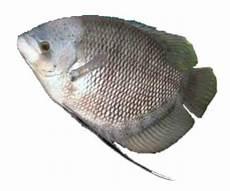Menjual Berbagai Jenis Ikan Segar Seperti Ikan Lele