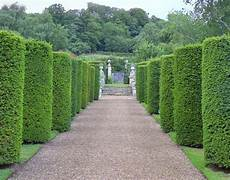 thuja hecke pflanzen 17 best images about hedge plants on taxus