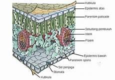 Struktur Daun Info Pendidikan Dan Biologi