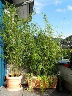 Welche Pflanzen Als Sichtschutz - bambus als sichtschutz f 252 r terasse und balkon bambus und