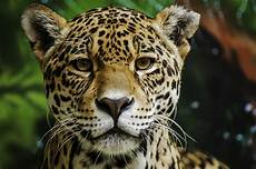 the wild jaguars of mexico have some good news to share