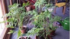 tomaten aus samen ziehen tipps biohausgarten de