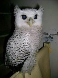 Gambar Jual Burung Hantu Javan Owlet Hewan Indonesia Beli