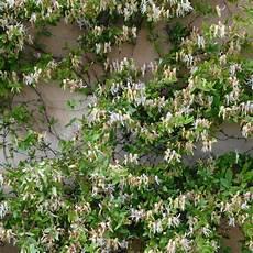 plante grimpante ch 232 vrefeuille du japon lonicera japonica