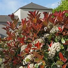 Photinia Fraseri Robin - photinia x fraseri robin pot de 10 litres gamm vert