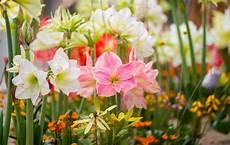 amaryllis pflege im sommer garten amaryllis 187 pflanzen und pflegen
