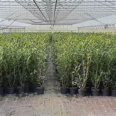 kirschlorbeer caucasica 80 100 im topf kaufen