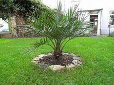 Palmen Für Den Garten - erste outdoor versuche seite 1 winterharte palmen
