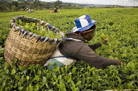 Cash Crops Tea