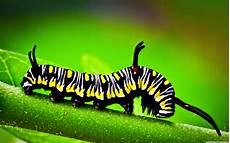 Insect Caterpillar Wallpaper by Caterpillar Macro Wallpaper 3840x2400 Wallpaper