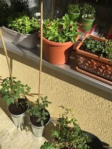 tomaten auf dem balkon pflanzen aus 228 en und tipps