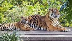 Foto Kebun Binatang Sydney Pamerkan Bayi Harimau Sumatera