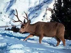 Wallpaper Reindeer