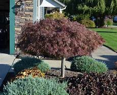 How To Grow And Trim Japanese Maples Mike S Backyard