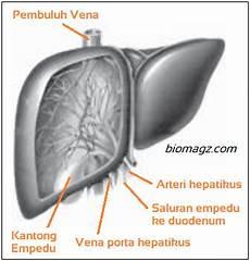8 Fungsi Hati Pada Manusia Gambar Organ Hati Dan