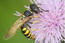 was machen wespen im winter hautfl 252 gler bienen hummeln wespen und ameisen nabu
