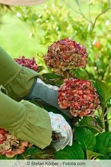 wie schneidet hortensien hortensien zur 252 ckschneiden zeitpunkt und anleitung