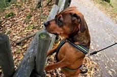 harnais pour chien comment le choisir