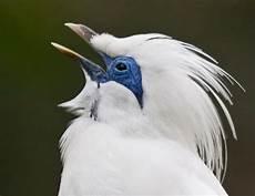 Gambar Burung Jalak Bali Eksotis Nan Menawan Om Kicau