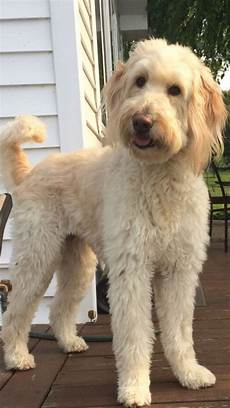 16 new goldendoodle haircut guide pictures meowlogy best 25 doodle haircuts ideas goldendoodle haircuts labradoodle grooming goldendoodle grooming