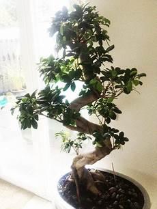 Ginseng Baum Pflege - warum verliert der ficus bonsai ulrike bl 228 tter