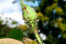 hausmittel gegen blattläuse aphid spray recipes thriftyfun