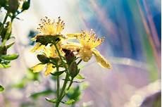 johanniskraut vermehren 187 drei vielversprechende methoden