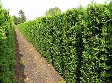 thuja brabant pflanzen wie gro 223 muss der pflanzabstand bei heckenpflanzen sein
