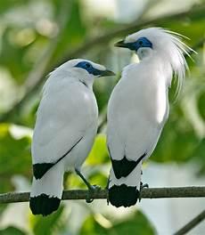 Burung Jalak Sejenisnya Maigan Birds