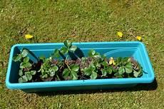 erdbeeren pflanzen tipps f 252 r balkon und garten homegate ch