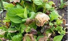 hortensien blätter werden braun erfrorene hortensien so retten sie die pflanzen mein