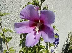 hibiscus entretien les 100 meilleures images du tableau hibiscus sur