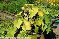 Gurke Gelbe Blätter - einlegegurken selbstversorgung aus dem eignen garten