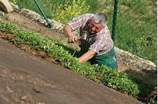 bodendecker hang sonnig balm standardmatte helix pflanzen