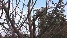 kirschbaum schneiden zeitpunkt alte kernobstb 228 ume schneiden erhaltungsschnitt