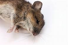 faire fuir les souris comment tuer les rats javel sel bicarbonate de soude