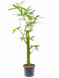 grote kamerplanten kopen 123planten nl